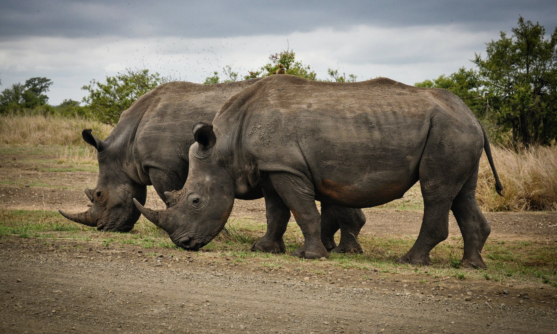 two rhino on gray field in south africa